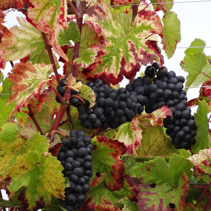Cepas Pinot Noir
