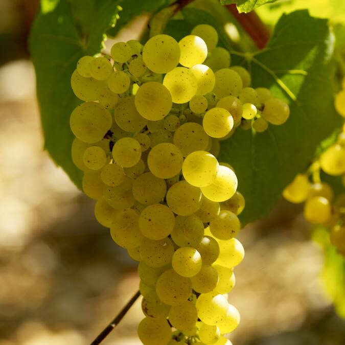 Montrachet, Racimo de chardonnay