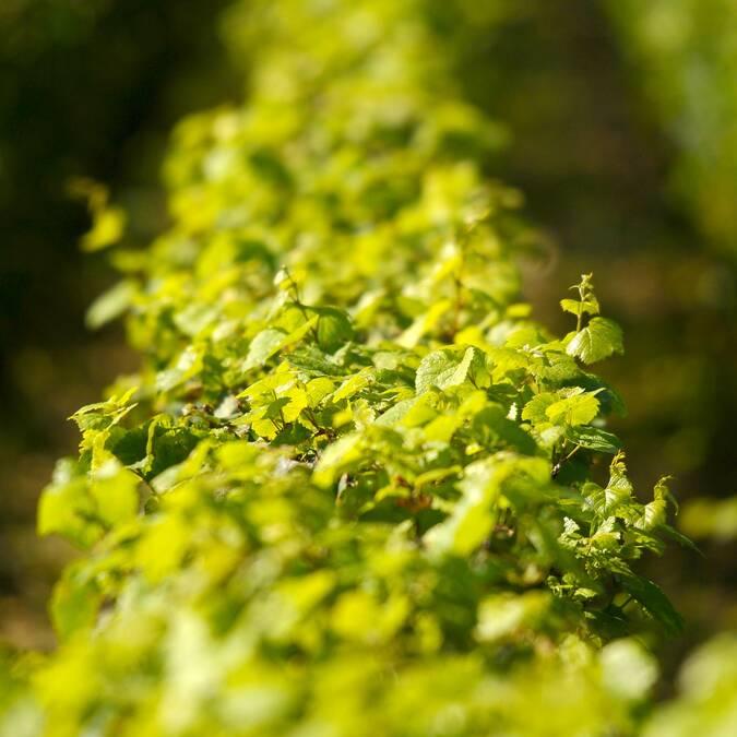 Viñas de Montrachet