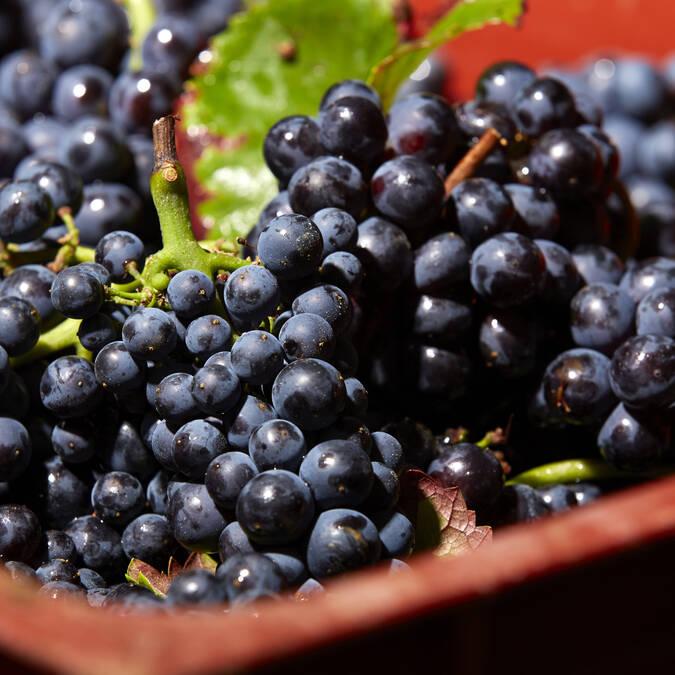 Pinot noir Vendimias